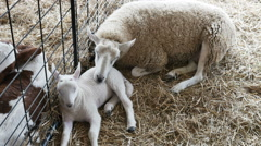 2289 Baby Lamb with Mother Sheep, HD Stock Footage