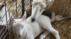 2290 Baby Lamb with Mother Sheep, HD Stock Footage