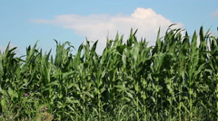 Corn Farm Against Blue Sky Stock Footage