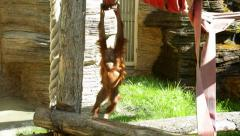 Fun of an adroit orangutan baby, hanging and weaving on the jungle gym. - stock footage