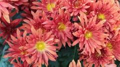 Orange Red Daisy Stock Footage