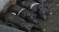 2293 New Born Baby Pigs Black and White, 4K - stock footage