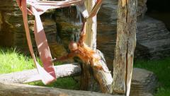 Amusement of an adroit orangutan baby, hanging and weaving on the rope. Stock Footage