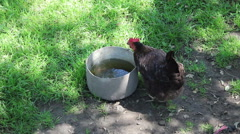 one chicken drinking water - stock footage