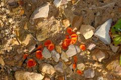 Orange peel fungus Stock Photos