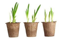 The young plant grows from a fertile soil is isolated on a white background Stock Photos