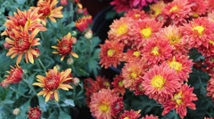 Red Daisy Stock Footage