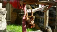 Stock Video Footage of Careless childhood of the two orangutan kids on the jungle gym.