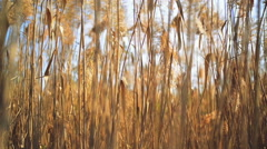 Dry reed grass Stock Footage
