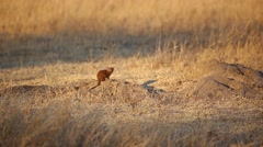 African mongoose - stock footage