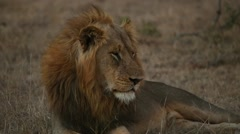 African lion at dusk (5 of 6) Stock Footage