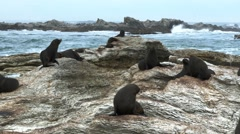 Kaikoura seal colony Stock Footage