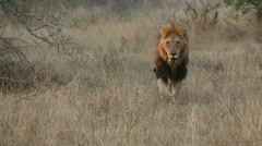 African Lion early morning (1 of 4) Stock Footage