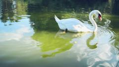Swan swimming in the lake Stock Footage