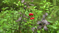 Lingonberries. Red berries. 4K. Stock Footage
