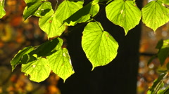 Linden green leaves. 4K. Stock Footage