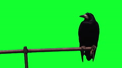 Crow on a pole. green screen, Chroma key, alpha channel Stock Footage