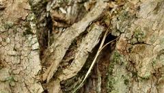 Maple bark surface Stock Footage