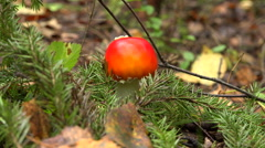 Mushroom fly agaric in the forest. 4K. Stock Footage