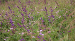 Purple salvia in wild meadow pan Stock Footage