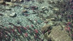 Kokanee salmon, waiting turn Stock Footage