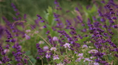 Purple saffron in wild meadow Stock Footage