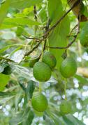 avocados  growing on a tree - stock photo