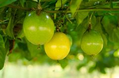 .passion fruit growing on the vine . - stock photo