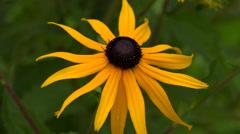 Echinacea. Yellow daisy. 4K. Stock Footage