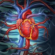 Cardiovascular human heart Stock Illustration