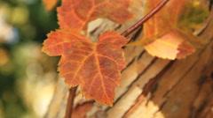 Yellow Autumn Leafs - stock footage