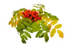 rowan and leaves - stock photo