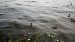Ducks swimming in a dirty water with plastic garbage. Stock Footage