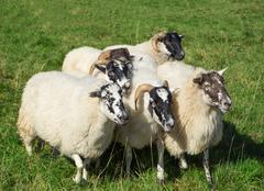 Small group of Scottish Blackface sheep - stock photo