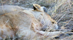 Lion cub sleeping after meal in Africa Stock Footage