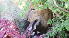 Big male lion eats zebra in Africa Stock Footage