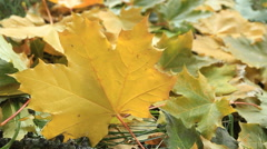 Yellow Maple leafs Stock Footage