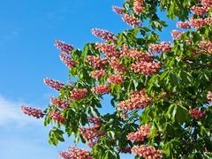 horse chestnut tree - stock photo