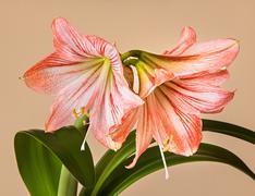 three amaryllis (hipperastrum) flowers - stock photo
