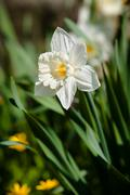 Stock Photo of white narcissus