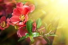 red flowering quince - stock photo