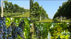 .healthy fruit for making vine grapes in the vineyard ...healthy fruit Stock Footage