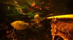 Fish in my aquarium - stock footage