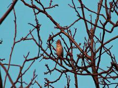 Beautiful trill of Song Thrush, Turdus philomelos Stock Footage