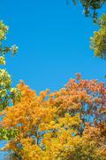 Colorful yellow autumn foliage against a blue sky Stock Photos