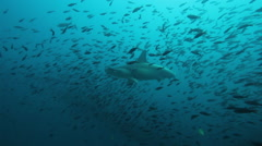 Hammerhead sharks passing from right to left Stock Footage