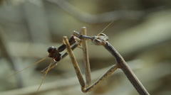 0060 mantis kalahari Stock Footage