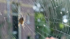 Spider in web with backlight Stock Footage