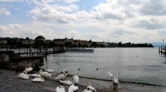 Swans on Lake Zurich at the evening Stock Footage