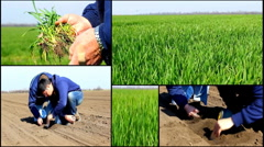 Young green wheat field agriculture  collage multi screen Stock Footage